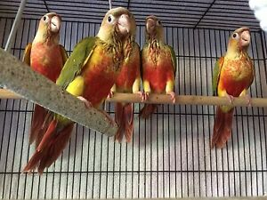 Conure babies Pineapple Palm Beach Gold Coast South Preview