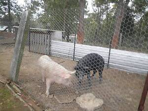 piglets and pigs for sale Colo Heights Hawkesbury Area Preview