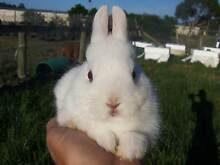 Purebred Lilac Frosy Point Netherland Dwarf Rabbit Buck For Sale. Bayswater Knox Area Preview