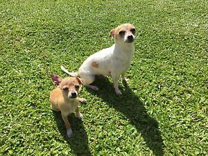Chihuahua Mum and daughter Redlynch Cairns City Preview