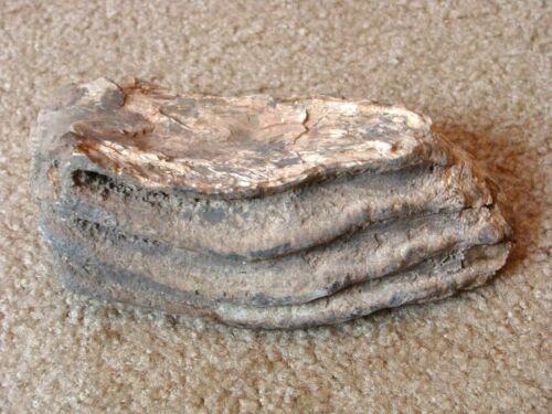3 POUND COLUMBIAN MAMMOTH TOOTH FOSSIL MASTODON TEETH PLATTE RIVER NEBRASKA