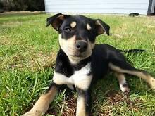 Kelpie x Kelpie Collie Puppy Manypeaks Albany Area Preview