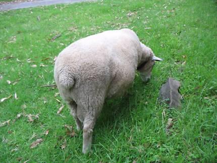 You can loan my Dorset ram Wollongong 2500 Wollongong Area Preview