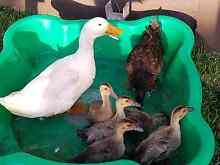 Ducks 6 weeks old Bayswater Knox Area Preview