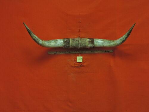 MOUNTED STEER Horns 4 FT 8 IN  15 IN BASES MOUNTED  HORNS TEXAS LONGHORN #3858