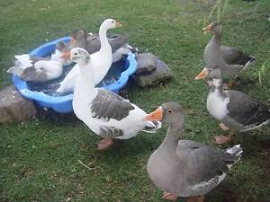 A family of Geese with 6 young 0nes(11 weeks old) just for $120 The Summit Southern Downs Preview