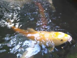 Koi fish for sale fish gumtree australia free local for Local koi fish for sale