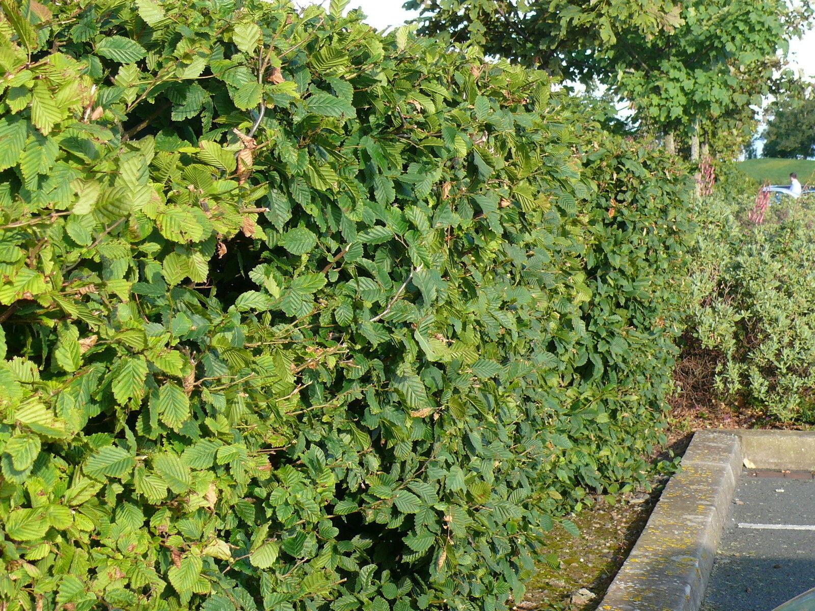 10 Hornbeam//Carpinus Betulus Plants 4-5ft Tall Bare-Rooted 3fatpigs/®