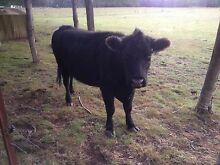 ANGUS COW IN CALF Deloraine Meander Valley Preview
