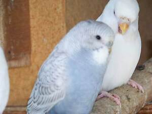 BUDGIES YOUNG ADULTS MALE FEMALE BIRDS CHEAP PET OR BREED CANARY Miranda Sutherland Area Preview