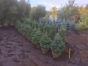TREES FOR SALE, landscape, spruce