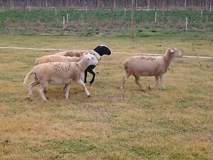 young dorper ewes Barmera Berri Area Preview