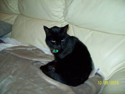 """BLACK MALE """"SOOTY"""" Canning Vale Canning Area Preview"""