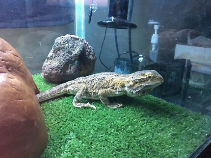 2yr old male Bearded dragon + two tanks and accessories