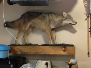 Stuffed full size real wolf