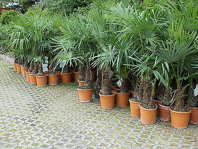 Trachycarpus fortunei 50 - 260 cm winterharte Palme Chinesische Hanfpalme