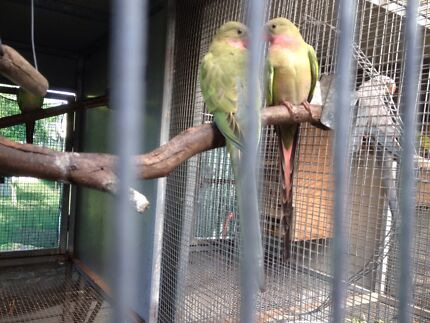Green Parrot For Sale Princess Parrots Blue&green
