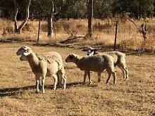 DORPER EWES FOR SALE Narromine Narromine Area Preview