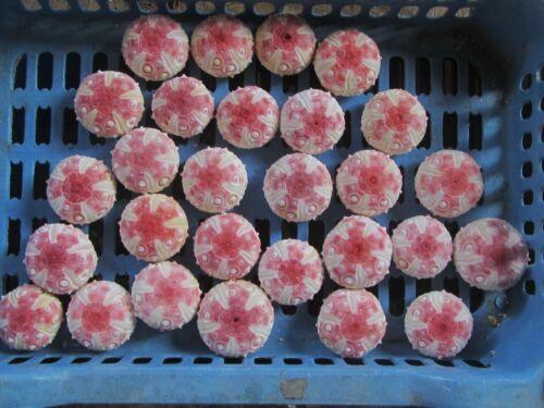 Sea urchin- Stereocidaris grandis 41-50mm 28pcs.