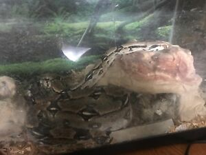 Red tail columbia boa