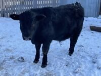 Yearling Black angus bulls for sale