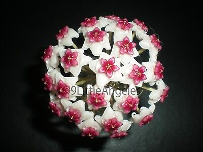 Big HOYA OBOVATA Tropical Wax Indoor Plant Shipped In 4' Inch Pot 'ON SALE' ()