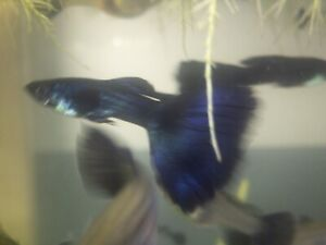 Blue Moscow Fancy Guppy pair