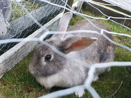 Wanted: Wanted Pure Bred Flemish Giant Rabbits