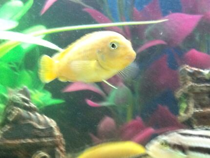 Saulosi cichlid for sale  Liverpool Liverpool Area Preview