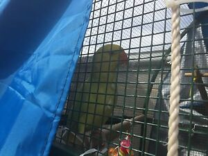 Yellow Indian ringneck Doveton Casey Area Preview