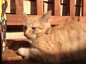 Male kitten for sell Bankstown Bankstown Area Preview