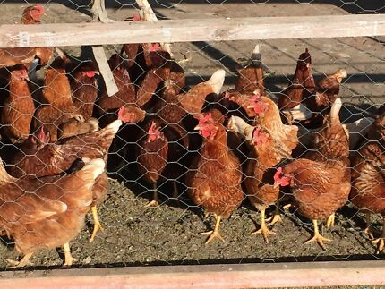 25 x Chickens - egg laying Alberton Port Adelaide Area Preview