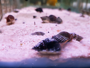 Nassarius snail Lidcombe Auburn Area Preview