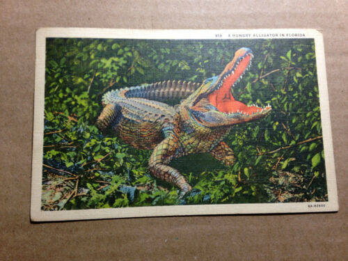 Old Postcard Hungry Alligator in Florida--Free Ship