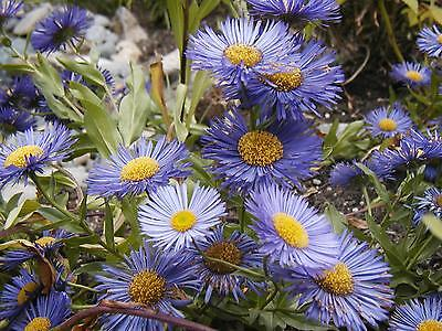 Aster New England  3 Live Plants  Must Ship Immediately  Groco Usa