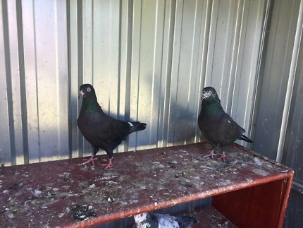 Breeding pairs of Serbian Highflyers & Pakistani Pigeons for sale