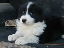 BORDER COLLIE PEDIGREE PUPPIES Robertstown Goyder Area Preview