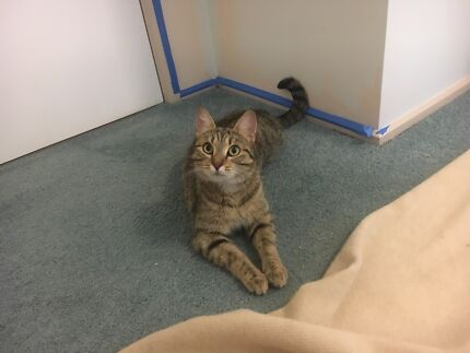 2 year old female tabby