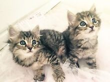 2 female kittens Robina Gold Coast South Preview