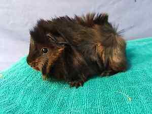 Baby sheba mini yak guinea pig, long hair Riverstone Blacktown Area Preview