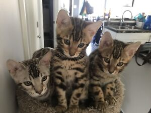 Beautiful Bengal Kittens Ready to go to Their Forever Homes!