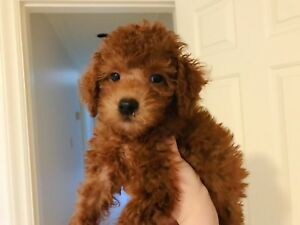 Teacup Size Red Poodle puppy ready to go home!
