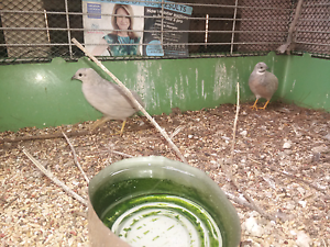 Cute King Quail Trio and Cage Petersham Marrickville Area Preview