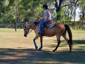 Registered buckskin mare