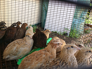 Japanese Quails for Sale Liverpool Liverpool Area Preview