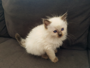 Pedigree Male Chocolate Point Ragdoll Kitten Available Cecil Hills Liverpool Area Preview