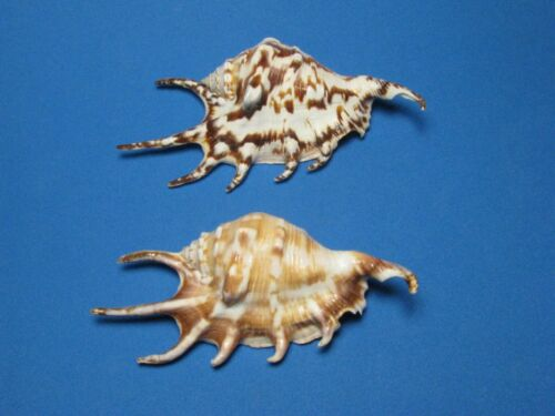 """Lambis lambis (Linnaeus,1758) """"COLOR VARIANT SET""""  (119.mm & 127.mm)"""