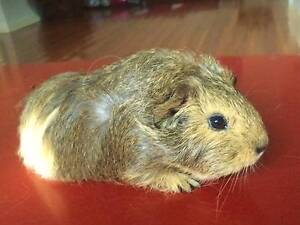 baby guinea pig for sale Kingston Kingborough Area Preview