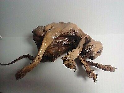 Genuine Mummified Cat - Freak Sideshow (Not Gaff) - Ripley's Believe It or Not!