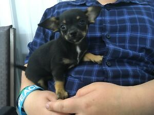 Two little Chihuahua puppies for sale